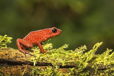 Strawberry poison dart frog (Oophaga pumilio) adult female, Atlantic lowland rainforest, Costa Rica