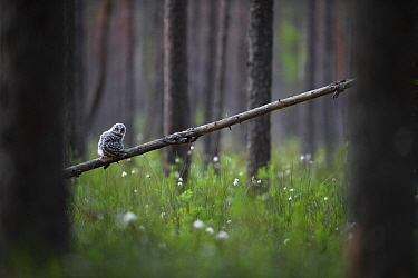 Ural owl (Strix uralensis) fledgling on first day out of nest, perched in swamp forest amongst Hare's-tail cottongrass (Eriophorum vaginatum). Tartumaa, Southern Estonia. May.