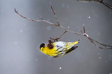 Eurasian siskin (Carduelis spinus) feeding on Alder (Alnus sp) cones in falling snow. Tartumaa, Southern Estonia. February.