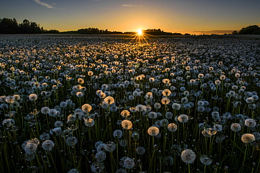 Dandelion (Taraxacum officinale), a field of many seedheads highlighted at sunset. Karula National Park, Valgamaa, Southern Estonia. June 2017.