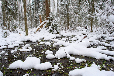 Swamp forest after first snowfall of winter. Alam-Pedja Nature Reserve, Tartumaa, Southern Estonia. November 2016.