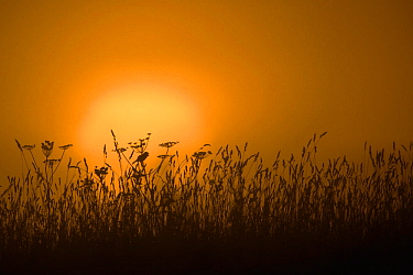 Whinchat (Saxicola rubetra) singing in meadow, silhouetted by sunrise. Karula Naitonal Park, Valgamaa, Southern Estonia. June.