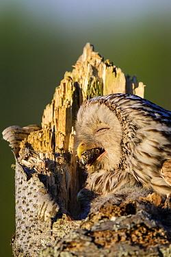 Ural owl (Strix uralensis) female and chick at nest, female regurgitating pellet. Southern Estonia. May.