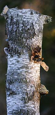 Ural owl (Strix uralensis) hidden inside Birch (Betula sp) tree trunk, on nest. Tartumaa, Southern Estonia. April.