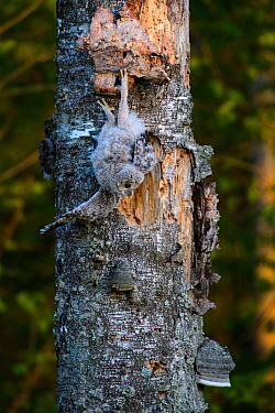 Ural owl (Strix uralensis) fledgling chick attempting to climb old Birch (Betula sp) tree with Bracket fungus. Tartumaa, Southern Estonia. May.