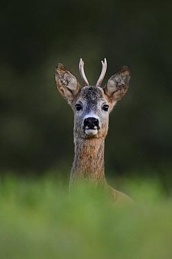 Roe deer (Capreolus capreolus), young buck, portrait. Karula National Park, Valgamaa, Estonia. August.