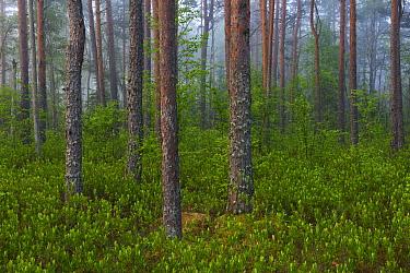 Pine forest on misty morning. Valgamaa, Southern Estonia. June.