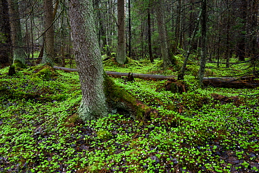 Wood sorrel (Oxalis acetosella) flowering on forest floor of boreal forest. Tartumaa, Southern Estonia. May.