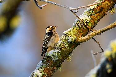 Lesser spotted woodpecker (Dendrocopos minor) on snow and lichen covered Alder (Alnus sp) branch. Alam-Pedja Nature Reserve, Tartumaa, Southern Estonia. November.