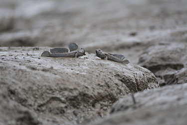 Great blue spotted mudskipper (Boleophthalmus pectinirostris), two in territorial fight on mudflat. Kyushu Island, Japan. August.