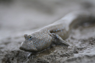 Great blue spotted mudskipper (Boleophthalmus pectinirostris) resting on mud at low tide, portrait. Kyushu Island, Japan. August.