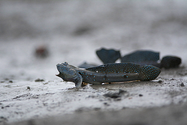 Great blue spotted mudskipper (Boleophthalmus pectinirostris) in aggressive pose, on mud at low tide. Kyushu Island, Japan. August.