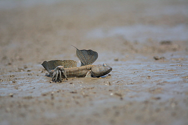 Great blue spotted mudskipper (Boleophthalmus pectinirostris) resting in mud at low tide. Kyushu Island, Japan. August.