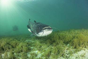 Wels catfish (Silurus glanis) swimming at bottom of Lake Neuchatel. Switzerland. September.