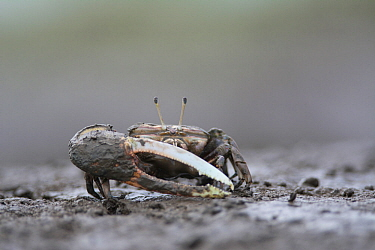 Crab (Uca sp) with large pincer, in mud. Kyushu Island, Japan. August.