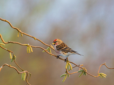 Common redpoll (Carduelis flammea) perched on corkscrew hazel with catkins, England, UK. March.