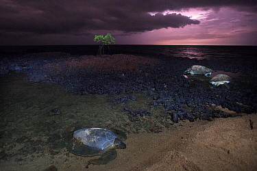 Green turtle (Chelonia mydas) females on coast to lay eggs, Bijagos Archipelago, Guinea Bissau. Endangered species.