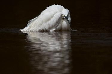 Little egret (Egretta garzetta) Joao Vieira Poillo, Bijagos archipelago. Guinea Bissau