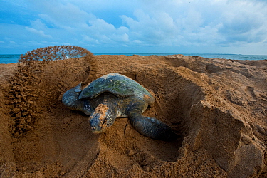 Green turtle (Chelonia mydas) female digging nest, Bijagos Archipelago, Guinea Bissau. Endangered species.