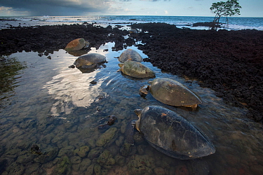 Green turtle (Chelonia mydas) females on beach to lay eggs, Bijagos Archipelago, Guinea Bissau. Endangered species.