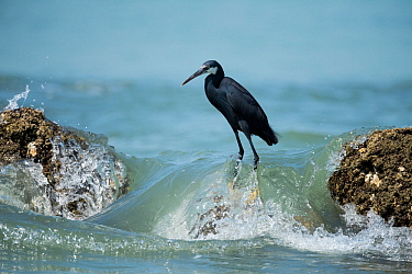 Black erget (Egretta gularis) Joao Vieira Poillo , Bijagos Archipellago. Guinea Bissau