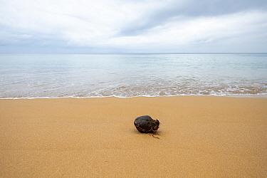 Coconut on Beach with sea in background, Principe Island, Democratic Republic of Sao Tome and Principe.