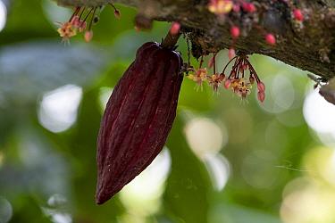 Cocoa plant (Theobroma cacao) fruit in plantation, Principe Island, Democratic Republic of Sao Tome and Principe,