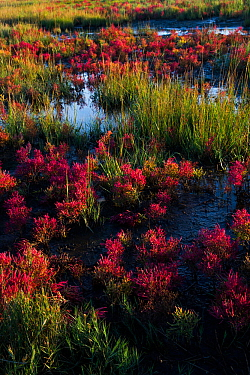 Glasswort (Salicornia sp.) in autumn red, growing in salt marsh pannes adjacent to Long Island Sound, Connecticut, USA. October.