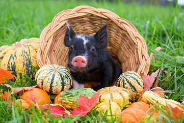Berkshire piglet in a basket among squashes in early autumn; Rhode Island, USA. October.