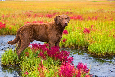 Chesapeake Bay Retriever in coastal habitat along Long Island Sound, Connecticut, USA. October.