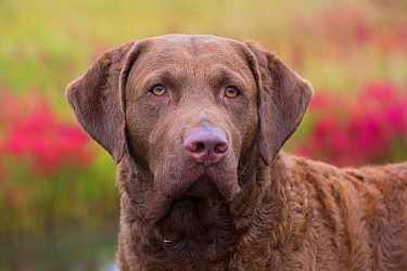 Chesapeake Bay Retriever portrait, USA.