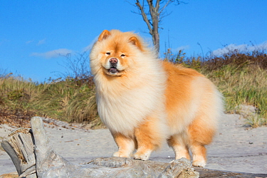 Chow Chow on beach, USA.