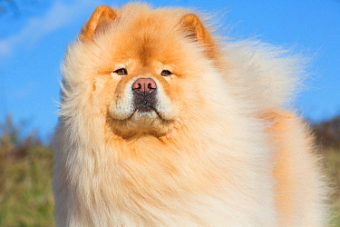 Chow Chow portrait, USA.