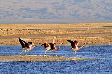Andean flamingo (Phoenicoparrus andinus) group taking off, Salar d'Atacama, Chile.