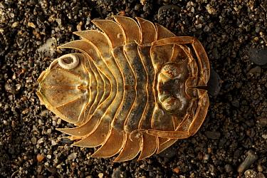 Marine Serolid Isopod (Serolis convexa). Punta Arenas, Patagonia, Chile. November.