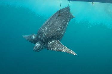 Leatherback sea turtle (Dermochelys coriacea) restrained by two harpoon lines bleeds after being clubbed over the head by traditional subsistence hunters; Kei ( or Kai ) Islands, Moluccas, eastern Ind...