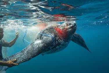 Traditional subsistence hunters tie a line around a harpooned Leatherback sea turtle, (Dermochelys coriacea) Kei / Kai Islands, Moluccas, eastern Indonesia, Banda Sea, Southwest Pacific Ocean