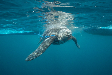 Leatherback sea turtle (Dermochelys coriacea) is pulled back to the boat after being harpooned by traditional subsistence hunters, Kei ( or Kai ) Islands, Moluccas, eastern Indonesia, Banda Sea, South...