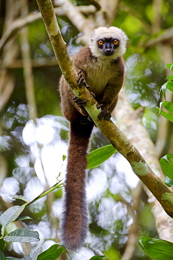White-fronted brown lemur (Eulemur albifrons) in tree, Rainforests of the Atsinanana, Marojejy National Park, Madagascar. Endangered species, endemic.