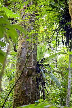 White-fronted brown lemur female (Eulemur albifrons), sitting in tree, Rainforests of Atsinanana, Marojejy National Park. Madagascar, Endangered, endemic.