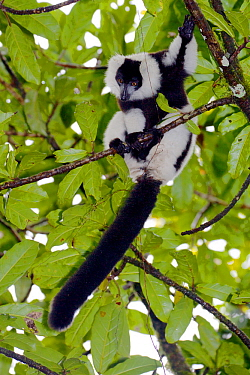 Hill's ruffed lemur (Varecia variegata editorum), sitting in tree, Ranomafana National Park, Madagascar, Critically Endangered, endemic.