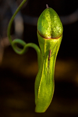 Long jawed orbweaver (Tettigoniidae) on a pitcher plant (Nepenthes vieillaedii), the Forgotten Coast, SE New Caledonia.