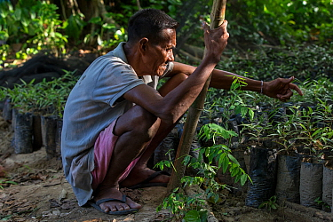 Batak elder with Almaciga seedlings (Agathis philippinensis), Manggapin, Palawan, the Philippines.The Centre for Sustainability's Saving the Almaciga Tree Project aims to restore the numbers of re...