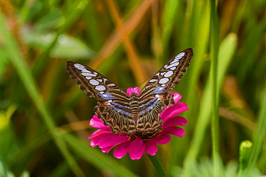 Blue clipper butterfly (Parthenos Sylvia) in Cleopatra's Needle Critical Habitat, Palawan, the Philippines.