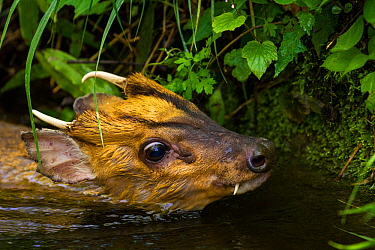 Injured Muntjac (Muntiacus reevesi) swimming in a small creek after unsuccessfully attempting to jump across it. This muntjac was unable to get out of the creek himself, and was later rescued by the p...