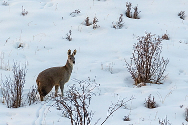 Alpine musk deer (Moschus chrysogaster) standing in snow in Serxu, Garze Prefecture, Sichuan Province, China.