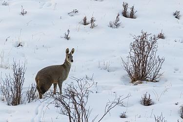Alpine musk deer (Moschus chrysogaster) standing in snow in Serxu, Garze Prefecture, Sichuan Province, China.