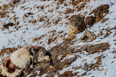 Snow leopard (Uncia uncia) with Bharal (Pseudois nayaur) prey, Serxu County, Garze Prefecture, Sichuan Province, China.
