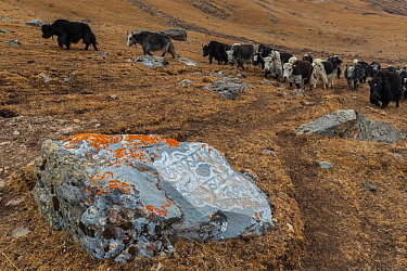 Buddhist mani stone with lichen and domestic yaks in landscape, Serxu County, Garze Prefecture, Sichuan Province, China.