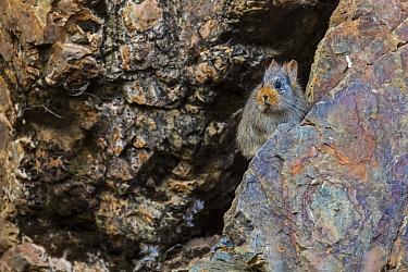 Large-eared pika (Ochotona macrotis) Serxu County, Garze Prefecture, Sichuan Province, China.